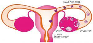 female-reproductive-system.jpg